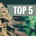 Top 5 Cannabissorten Für Einen Verspäteten Anbau
