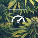 Wie Man Beim Anbau Von Cannabis Den CBD-gehalt Steigert