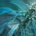 Cannabissorte mit weniger als 1% THC: CBD Fix Auto