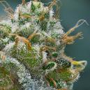 Wie Man Vor Der Cannabisernte Die Trichomproduktion Ankurbelt