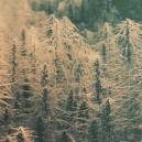 Was sind Landrassen und Erbstück Cannabis Sorten?