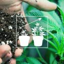 Cannabis Im Freien Anbauen: Die Beste Bodenmischung