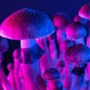 Zauberpilze und das hyper-verknüpfte Gehirn