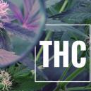 Anbautipp: THC Wert mit UV Licht steigern