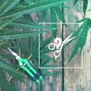 Anbautipp: Wie Man Hanfpflanzen Beschneidet