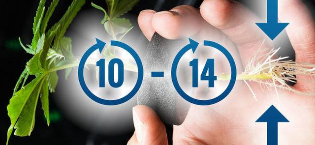 10-14 Tage: Die ersten Wurzeln