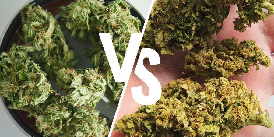 Unterschied indoor und outdoor angebautem Weed: Farbe