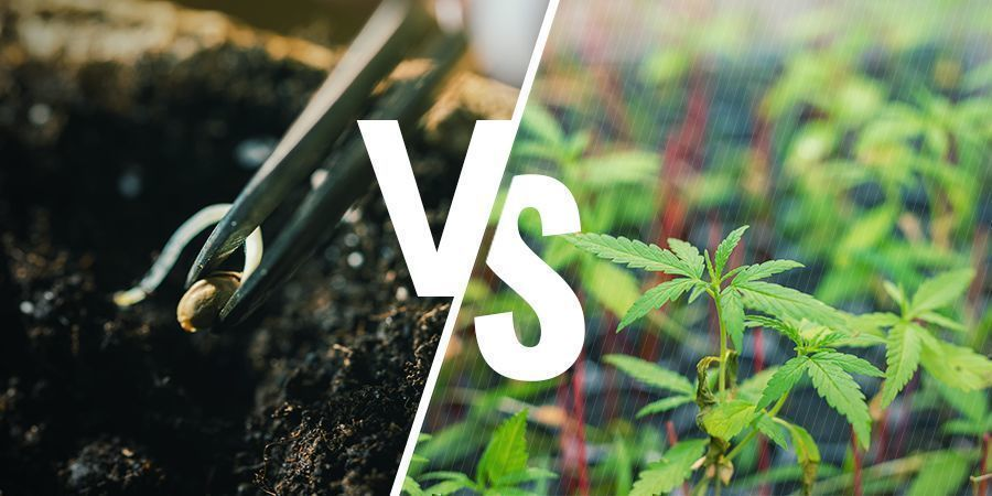 Spielt es eine Rolle, ob Du Dein Gras aus Samen oder Stecklingen ziehst?