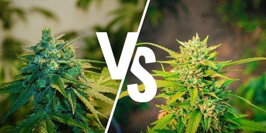 Was ist der Unterschied zwischen indoor und outdoor angebautem Weed?