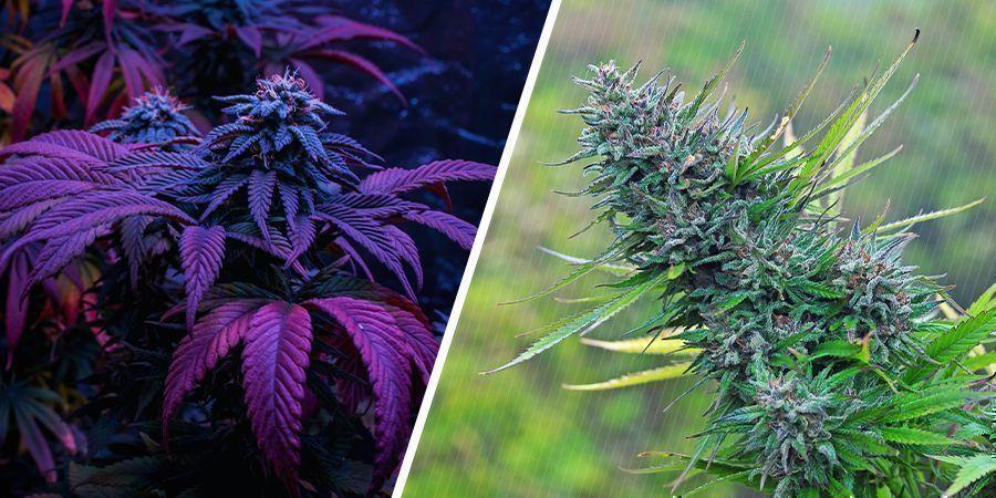 Was ist hochwertiger: Indoor- oder Outdoor-Gras?