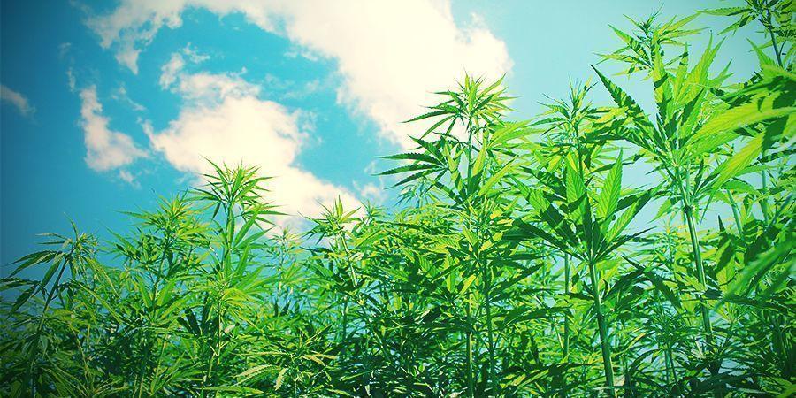 Why Grow Cannabis Organic?