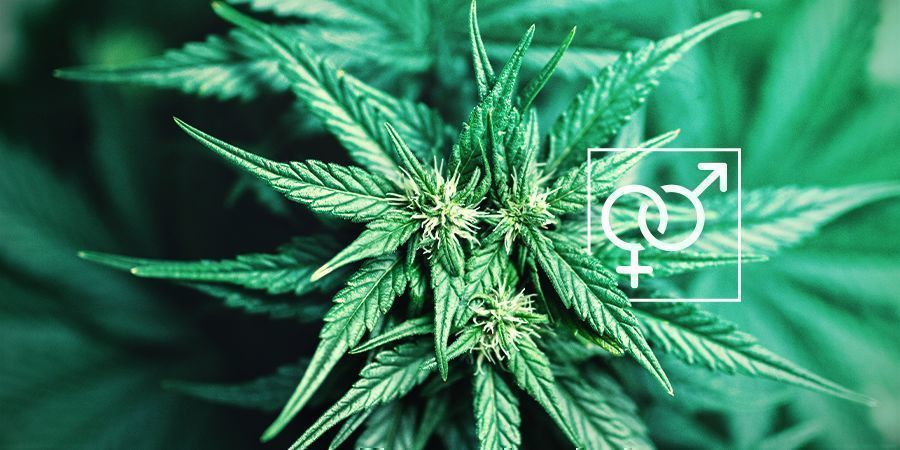 Plant Sex Cannabis