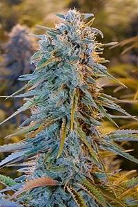 Blue Dream Humboldt Seeds
