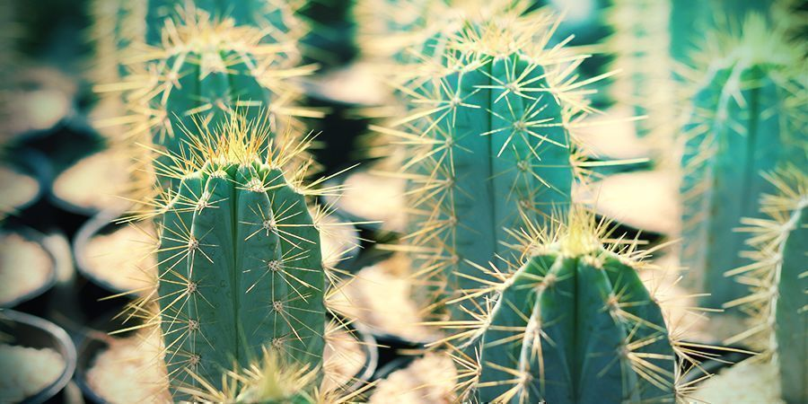 What Is Bolivian Torch: The Cactus Of The Four Winds