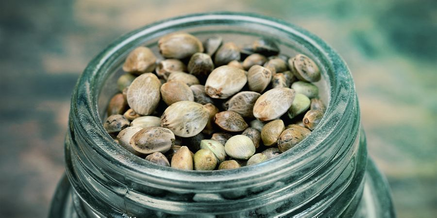 PRE-CONSIDERATIONS BEFORE PURCHASING CANNABIS SEEDS