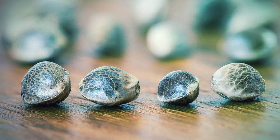 Regular Feminized Autoflowering Photoperiod What Does It All Mean