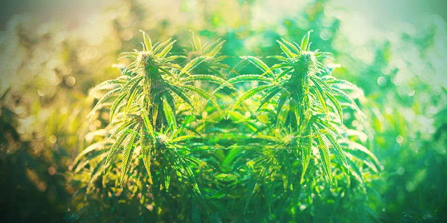 HOW TO CHOOSE THE RIGHT CANNABIS STRAIN IN GERMANY