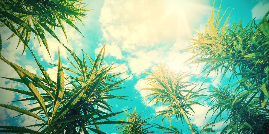 GROWING CANNABIS - MAXIMISE SUN EXPOSURE