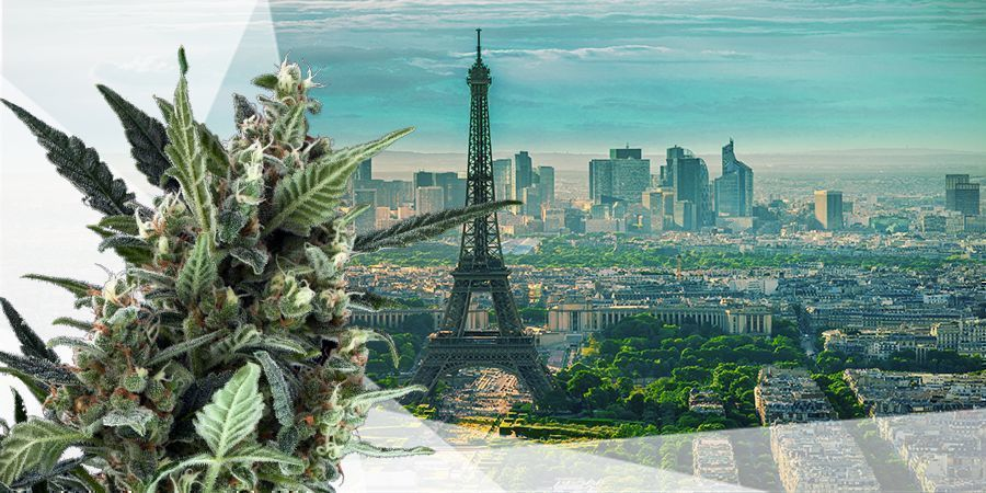 BEST CANNABIS SEEDS FOR THE INTERMEDIATE ZONE