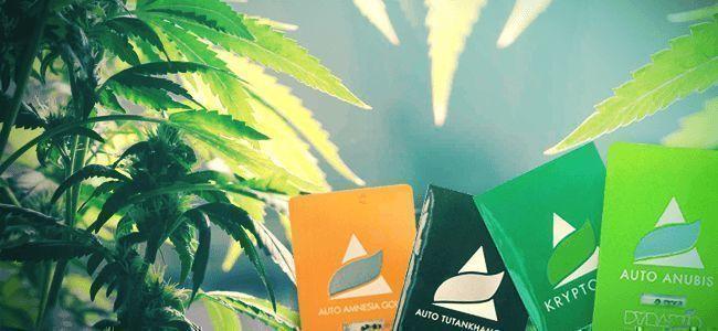 Pyramid Seeds: Unique Hybrid Cannabis Strains