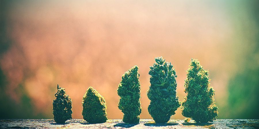 How To Choose The Right Cannabis Strain For The Netherlands
