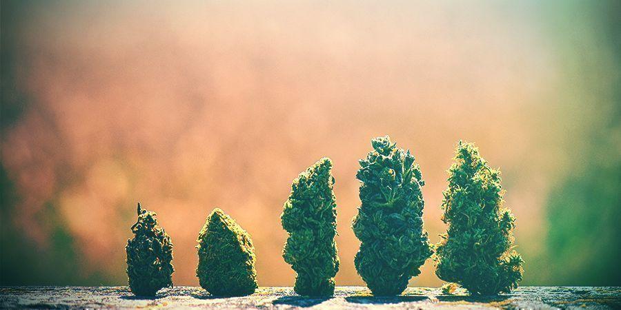 Wie Man Die Richtige Cannabissorte Auswählt Niederlanden