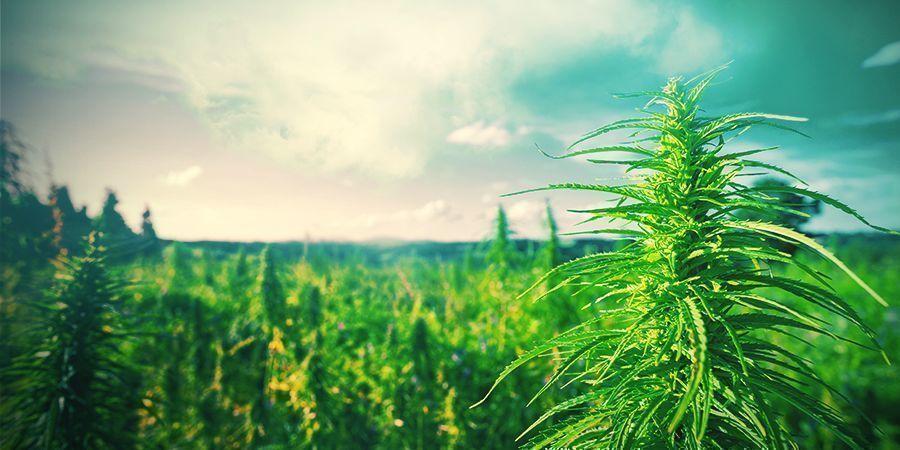 Tipps Für Den Anbau Von Cannabis In Den Niederlanden