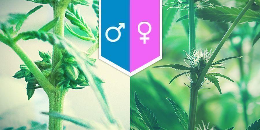 Die Sexualität Von Cannabis