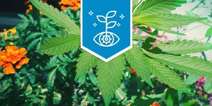 Cannabis As Companion Plant