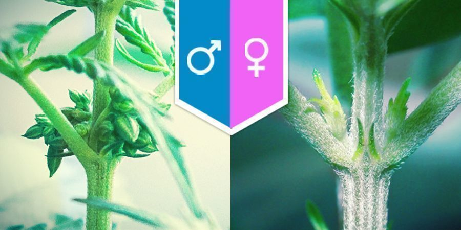 Cannabis Sexuality