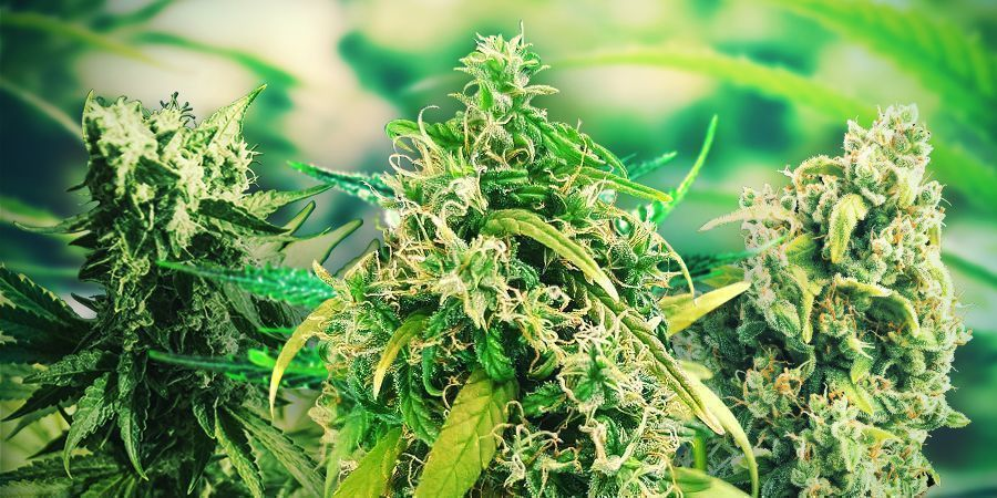 HOW TO CHOOSE THE RIGHT CANNABIS STRAINS SPAIN