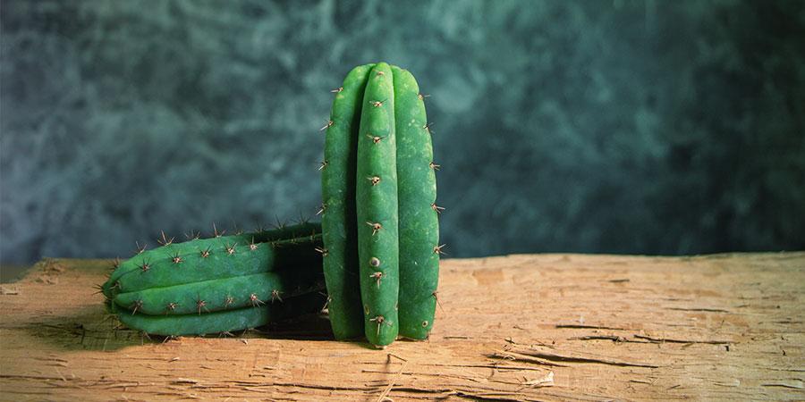Trichocereus Cacti