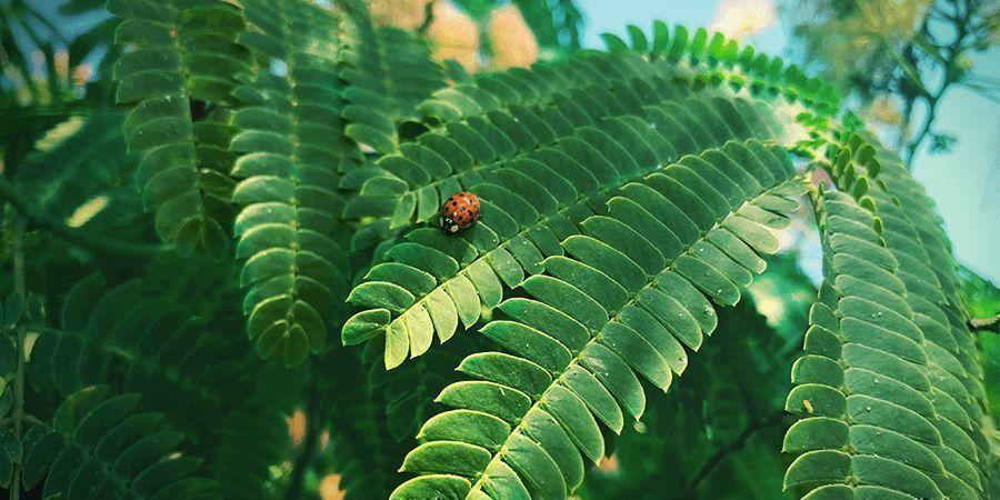 Mimosa Hostilis