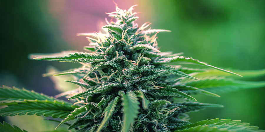 What Is An Autoflowering Strain?