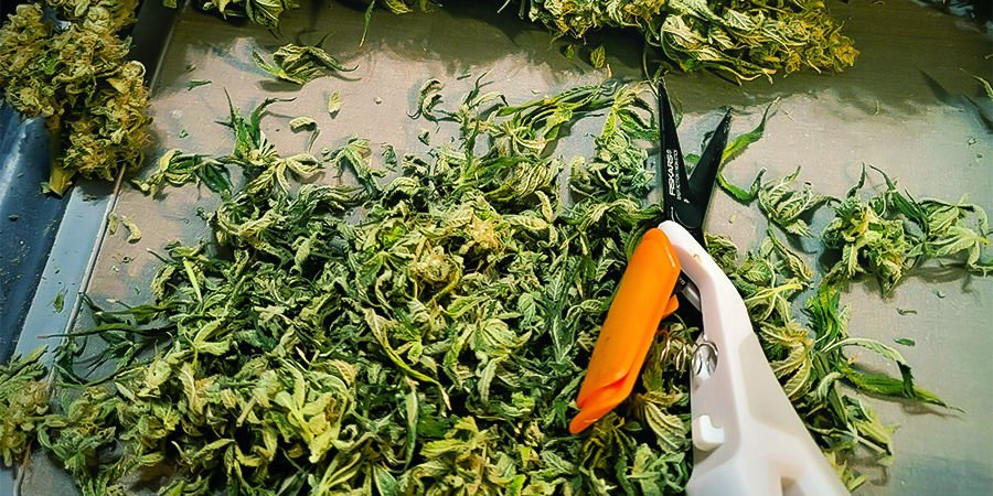Why It's Important to Clean and Maintain Cannabis Trimming Scissors