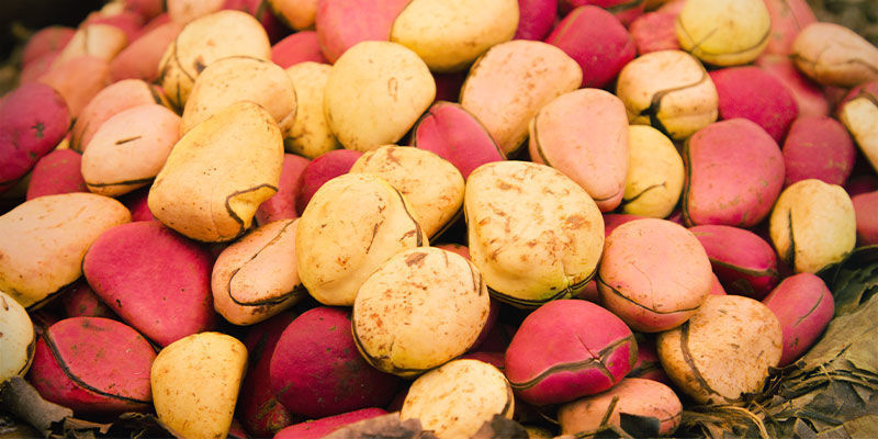 Best Source of Caffeine for Studying: Kola Nut