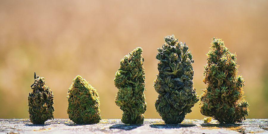 Warum Haben Cannabisblüten Verschiedene Farben?
