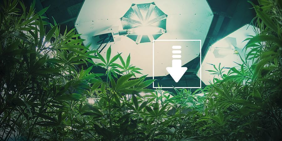 Cannabis: Fewer Hours Of Light Per Day
