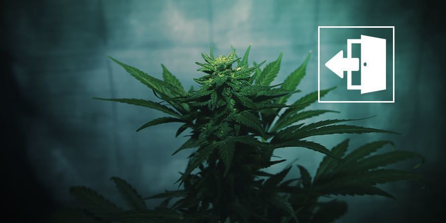 Force-flowering Cannabis Outdoors