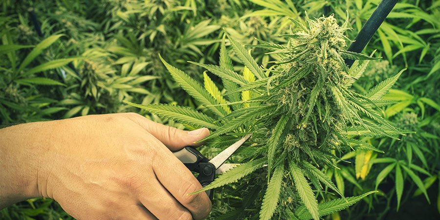 PRUNING AND TRAINING CANNABIS