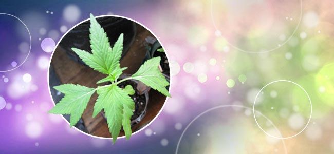 Duckfoot Cannabis
