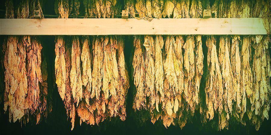 Zeit Für Die Ernte Und Trocknung Deiner Ernte