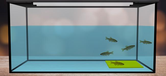 Zamnesia_Blog_Animals That Love To Get High Zebrafish swam over the yellow platform