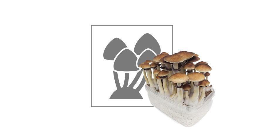 Discover A Variety Of Magic Mushroom Grow Kits At The Zamnesia