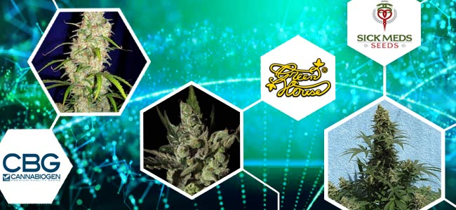 CBG-Rich Cannabis Strains