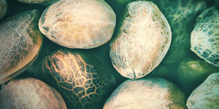 Types Of Bad Cannabis Seeds