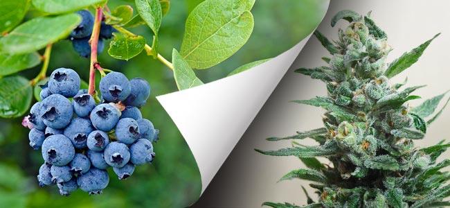Moscow Blueberry (Kalashnikov Seeds)