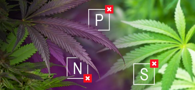 What Are Purple Marijuana Strains?