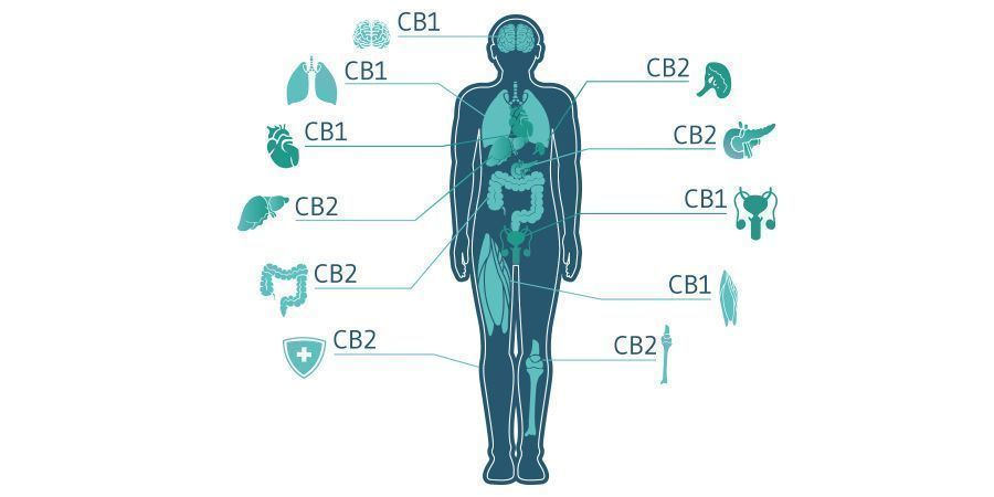 Types Of Cannabis Receptors