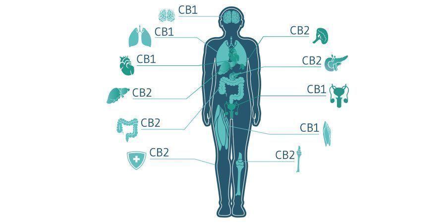 Types Of Cannabis Receptors
